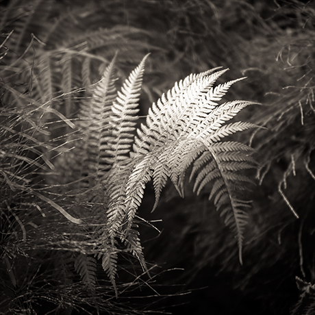 Black and white Fine art photography Fern leaf